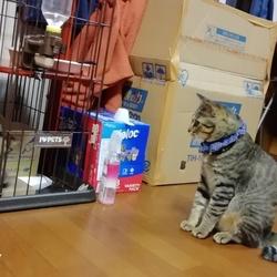 先住猫の茶々くんと新入り保護猫くん