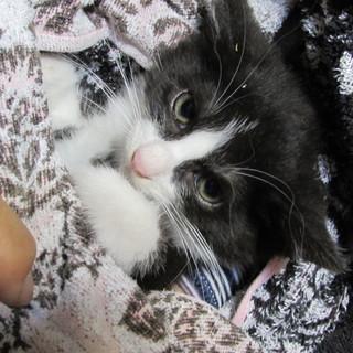 天使の白黒仔猫ちゃん、2か月です!