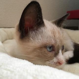 ミルクティーベージュ色の綺麗な仔猫(トライアル中)