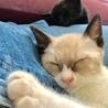 ミルクティーベージュ色の綺麗な仔猫(トライアル中) サムネイル2