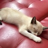 ミルクティーベージュ色の綺麗な仔猫(トライアル中) サムネイル3