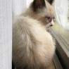 ミルクティーベージュ色の綺麗な仔猫(トライアル中) サムネイル4