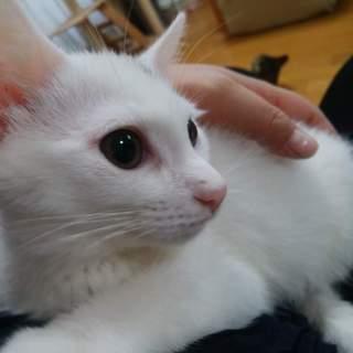 びびりなんだけどやんちゃな白猫 みこと