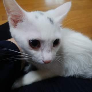 ほぼ白猫のパステルミケ?元気いっぱい美人さん ゆき