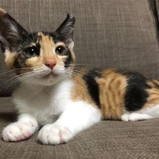 【7/28譲渡会参加】可愛い三毛猫さん。