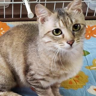 愛らしい瞳のむぎわら猫 穏やかなミントちゃん