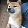 可愛い柴犬の女の子