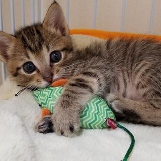 生後1か月甘えん坊の子猫
