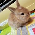 ミニウサギの赤ちゃん 生後1ヶ月