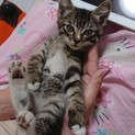 生後約1ヶ月半の大人しい子猫(♂)です