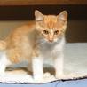 茶白サビサビの仔猫です! サムネイル2