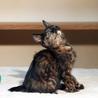 茶白サビサビの仔猫です! サムネイル3