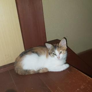 生後2ヶ月位の子猫です!可愛い女の子!