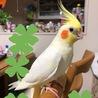 オカメインコ2羽のお優しい里親さん募集します; サムネイル3