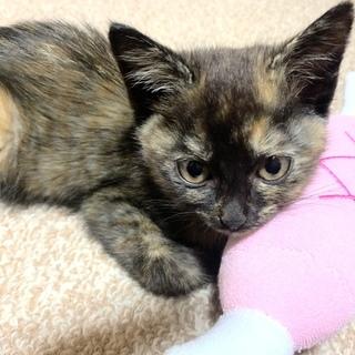 動画) 5月生まれのサビ柄 。甘々おっとり仔猫です