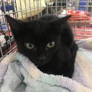 黒猫・目が金色のやせっぽちの男の子♪生後3ヶ月