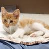 茶白サビサビの仔猫です! サムネイル4