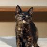 茶白サビサビの仔猫です! サムネイル5