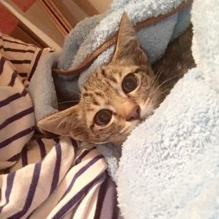 京都より 美猫のキジトラ とびうおちゃん♪