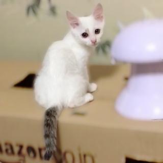 【里親さま決定】 美形な白キジ しらうお君