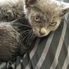 急募!可愛いグレーの子猫 サムネイル4