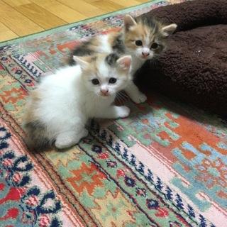 三毛の子猫(メス)3匹の里親募集!