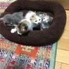 三毛の子猫(メス)3匹の里親募集! サムネイル2