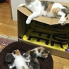 三毛の子猫(メス)3匹の里親募集! サムネイル6