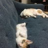 三毛の子猫(メス)3匹の里親募集! サムネイル7