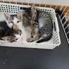 3匹の子猫 里親さん探しています! サムネイル2