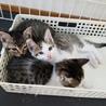 3匹の子猫 里親さん探しています! サムネイル3