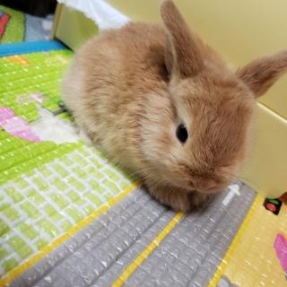 ミニウサギの赤ちゃん1羽 生後1ヶ月