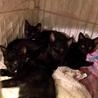 初心者歓迎!可愛い懐っこい黒猫4兄妹+2兄妹 サムネイル5
