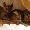 美しい4姉妹きびちゃん、医療・しつけ済 サムネイル7