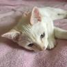 白猫ちゃん  男の子  5ヶ月 サムネイル2