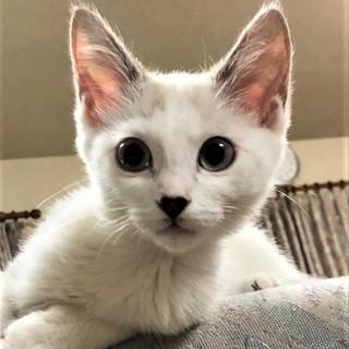 シャムミックス風、美猫のピンちゃん