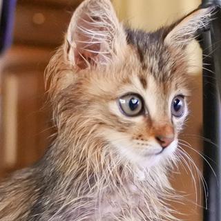 ふわふわ長毛♪キジトラの子猫ちゃん