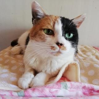 グリーンの目が印象的な穏やかな三毛猫☆彡