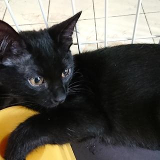 黒猫兄弟(3か月・オス2匹)里親募集
