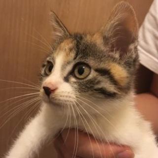 美猫三毛1、元気な生後2ヶ月の女の子