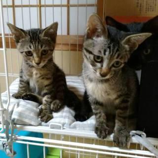 キジトラ子猫3ヶ月♀テナーベンガル風