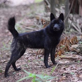 甲斐犬 6ヶ月 牝
