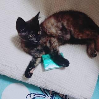 2ヶ月サビ猫♀