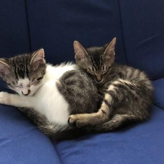 3カ月の子猫 2匹は兄弟男の子
