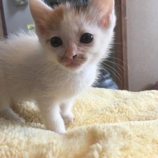 三毛猫 約1か月