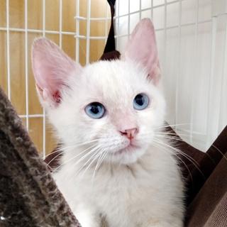 ブルーアイのかわいい白猫「ユウ」約2.5か月