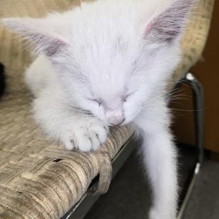 ♀ 子猫 白