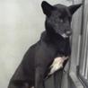 里親様を待っています。成犬♀黒白 116