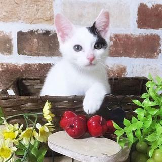 【7/20キャットソシオン譲渡会参加猫】白黒の雪華