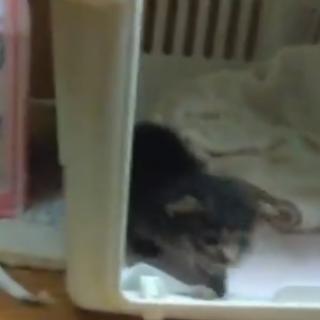 倉敷で生後一か月ほどの子猫を保護しました。